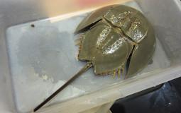 インドパパ、瀕死の危機! タイでカブトガニを食べてみた