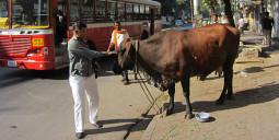 俺の牛に餌をやれ! インドの給餌ビジネス【ティラキタ駱駝通信 5月15日号】