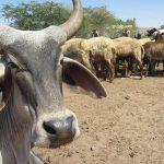 牛肉を食べるだけで殺されるインドで、牛肉を食いまくっても問題にならない場所とは